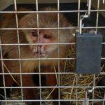 Reprochable: más de 20 años estuvo un mono cariblanco en cautiverio