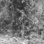 Atentado contra la fauna silvestre. Asesinaron un tigrillo en el municipio de Cabrera.