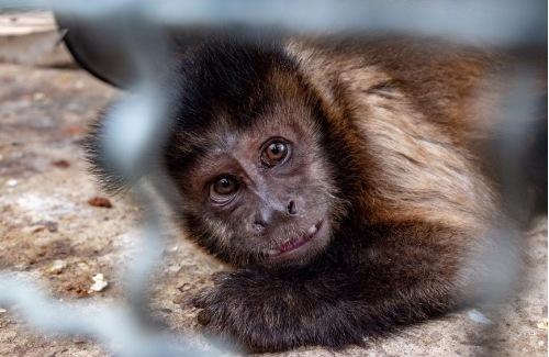 Estas son las graves consecuencias que sufre un animal silvestre cuando ha estado en cautiverio
